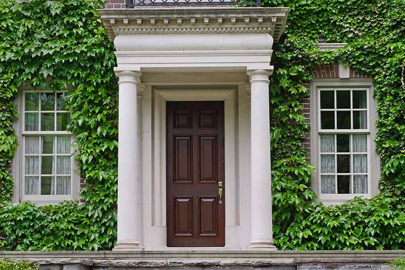A horizontal image of a large imposing house with Boston ivy growing on the walls and around the windows and front door.