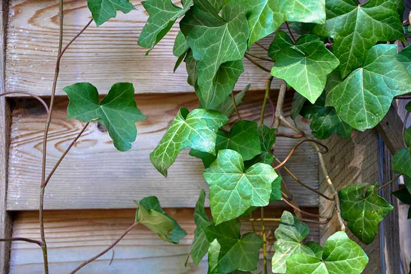 A close up horizontal image of English ivy growing on wooden siding.