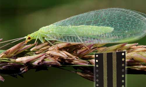 A close up horizontal image of a lacewing pictured on a soft focus background.