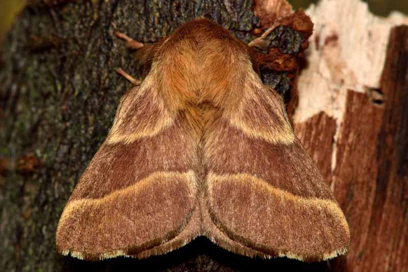 A close up horizontal image of a lackey moth (Malacosoma neustria) on a tree.