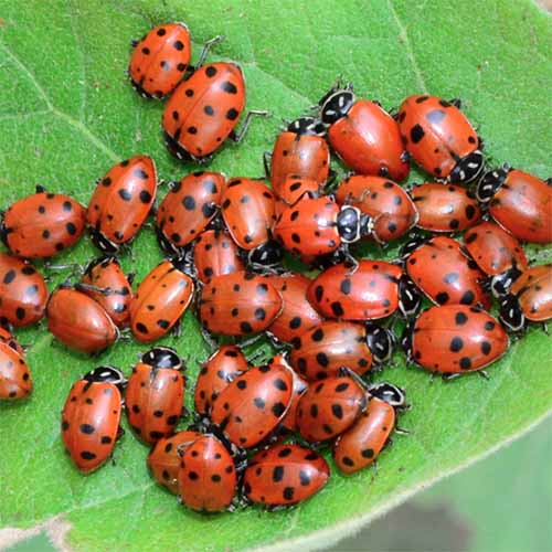 A close up square image of ladybugs clustered on a leaf.