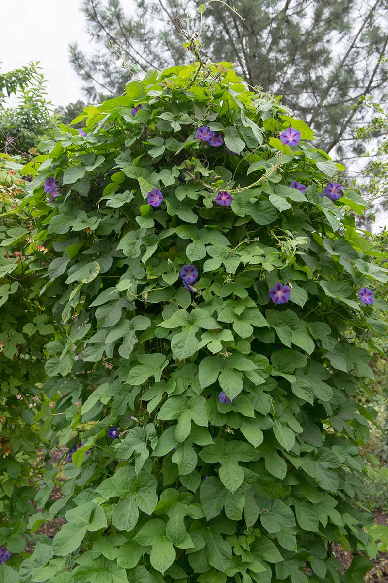 A close up vertical image of a large morning glory (Ipomoea purpurea) vine that has taken over one section of the garden.