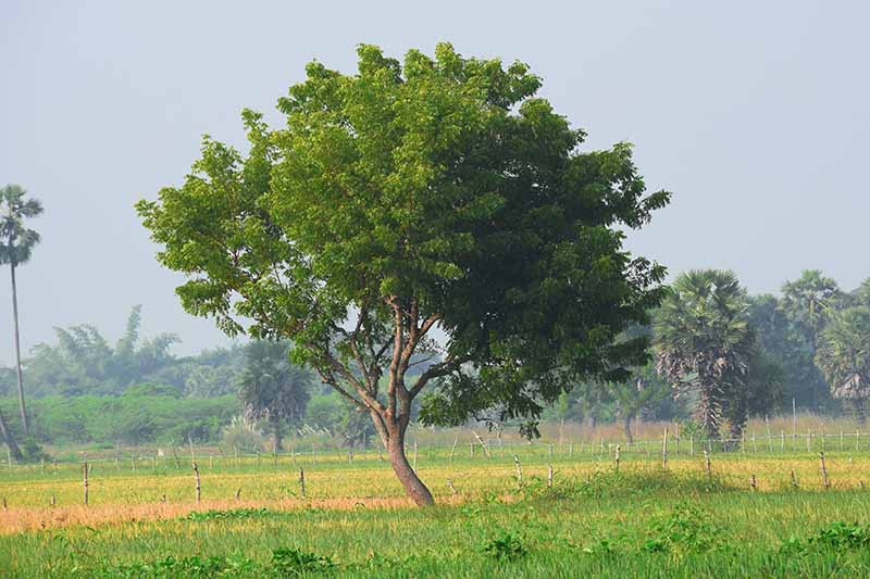 A horizontal image of a large neem tree growing in a tropical location.