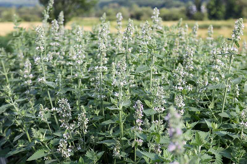 A close up horizontal image of a large stand of Nepeta growing at the edge of a field.