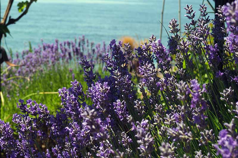 A close up horizontal image of lavender with bright purple flowers growing in a sunny garden with the sea in the background.