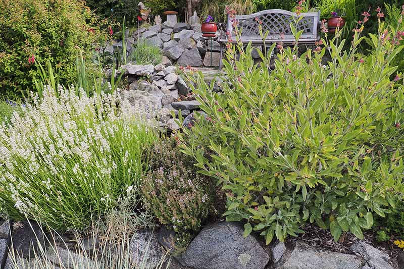 A close up horizontal image of herbs growing in a rocky garden with a bench in the background.