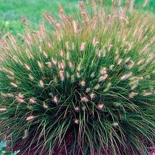 A close up square image of Pennisetum 'Little Bunny' growing in the garden.