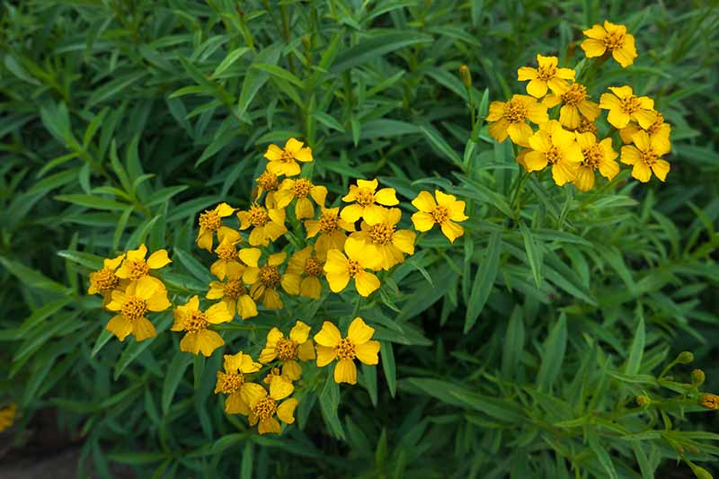 A close up horizontal image of Mexican tarragon, with pretty yellow flowers, growing in the garden.