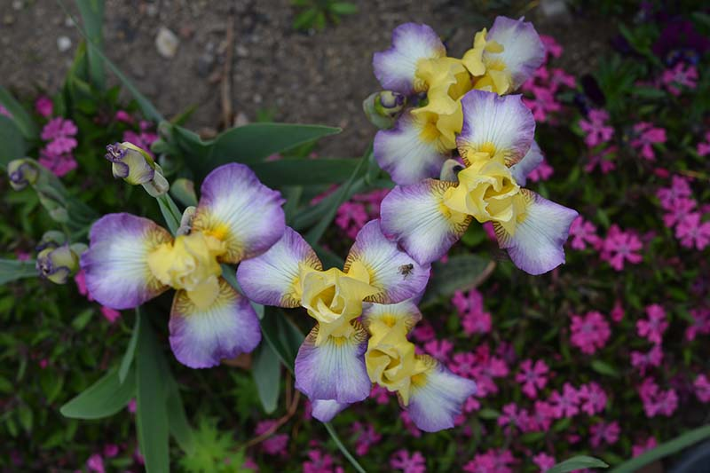 A close up horizontal image of delicate white, purple, and yellow tricolor iris flowers from the Miniature Tall Bearded group growing in the garden.