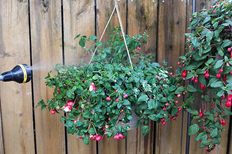 A close up horizontal image of a hose from the left of the frame misting a fuchsia plant growing in a hanging basket against a wooden fence.