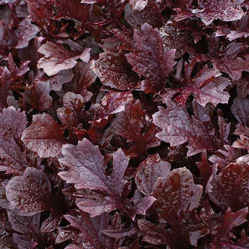 A close up square image of 'Miz America' mizuna with dark red leaves.