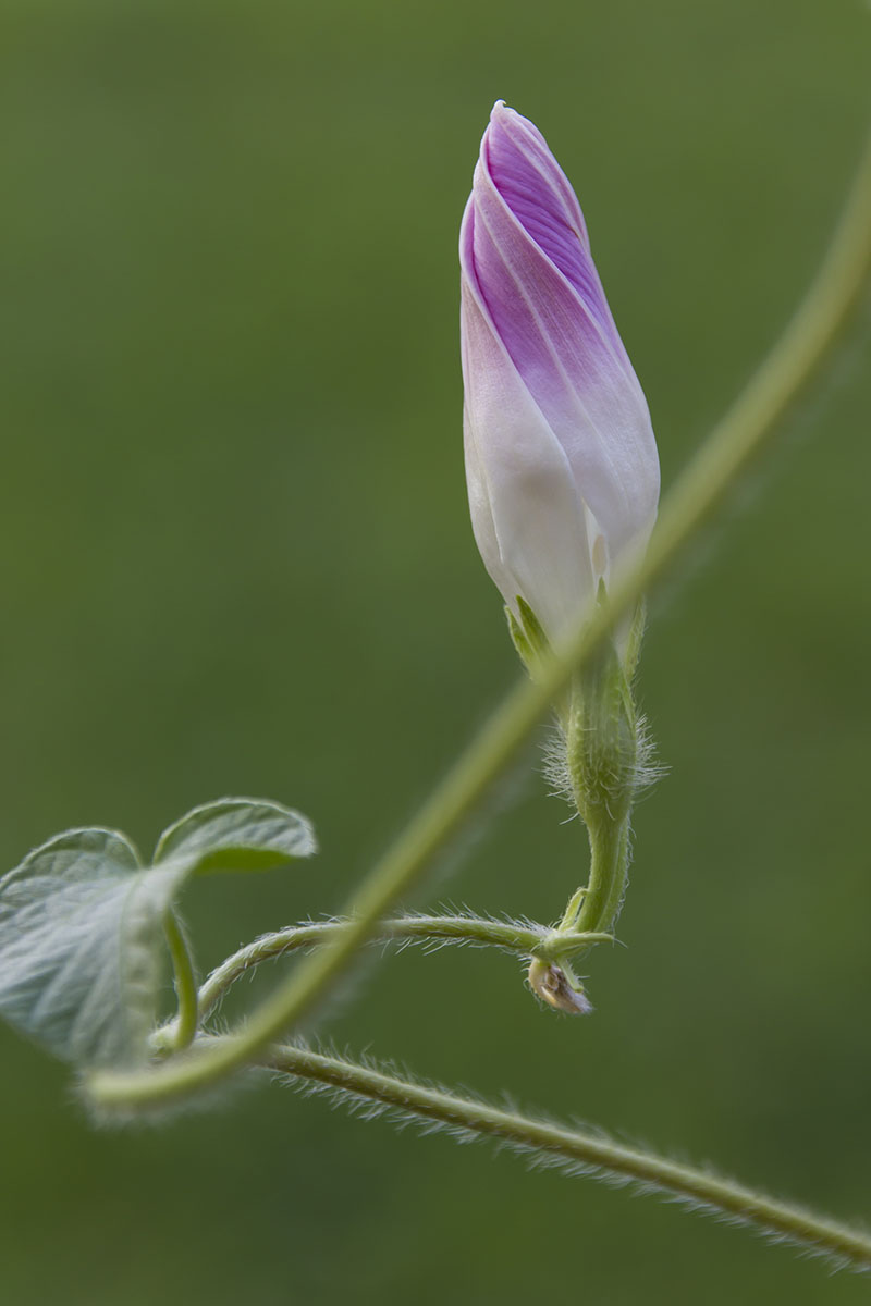 A close up horizontal image of a closed Ipomoea purpurea flower pictured on a soft focus green background.