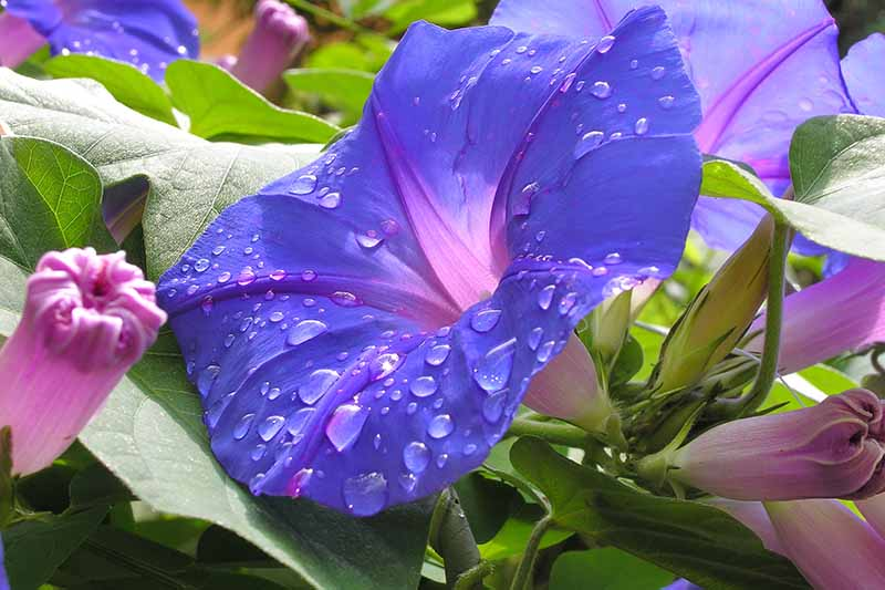 A close up horizontal image of a bright blue Ipomoea purpurea flower with the petals covered in droplets of water.