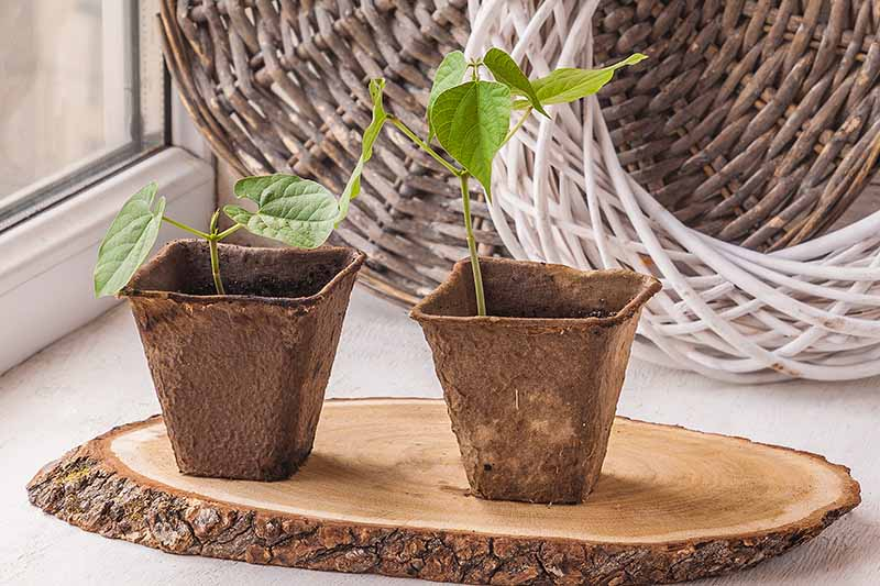 A close up horizontal image of seedlings growing in biodegradable pots set on a windowsill with wicker baskets in the background.