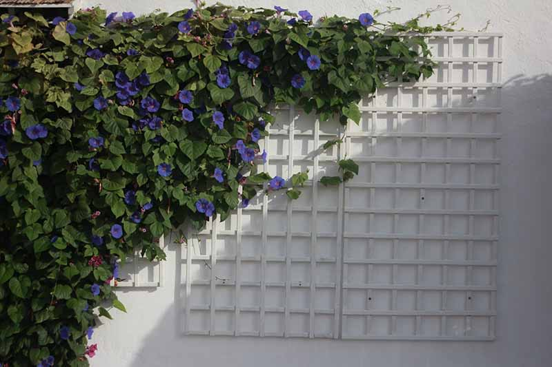 A close up horizontal image of a large Ipomoea purpurea vine growing up a wall attached to a trellis.