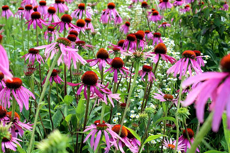 A close up horizontal image of multiple purple coneflowers growing in the garden.