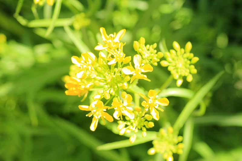 A close up horizontal image of a yellow mustard green flower pictured in bright sunshine on a soft focus background.