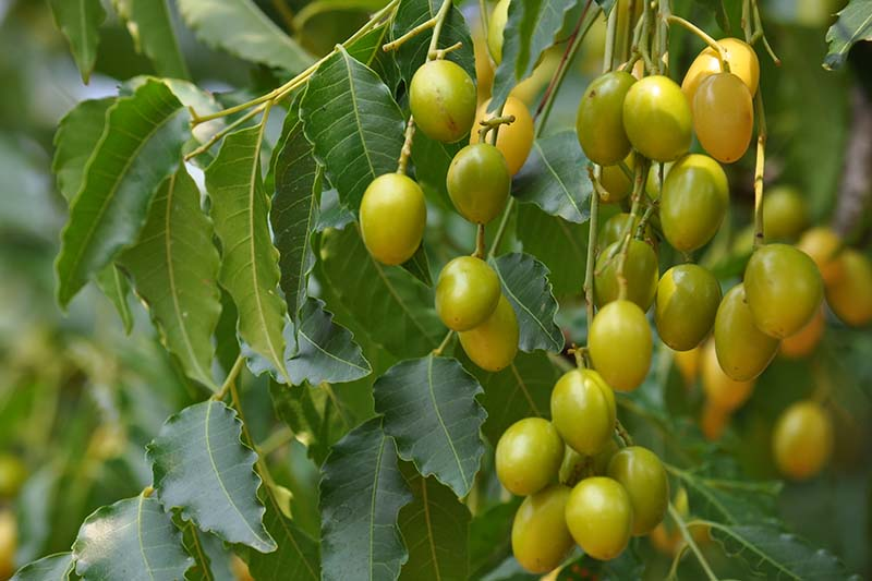 A close up horizontal image of the fruit and foliage of a neem tree.
