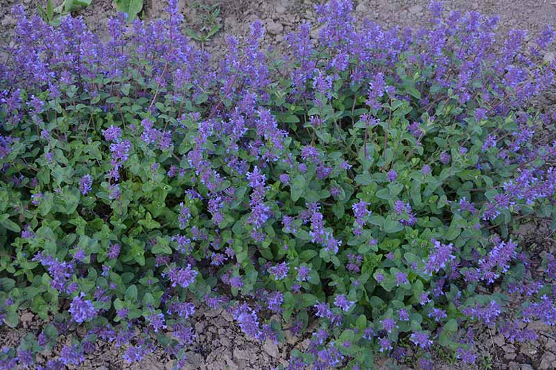 A close up horizontal image of the dark green foliage and blue flowers of Nepeta racemosa growing in the garden.