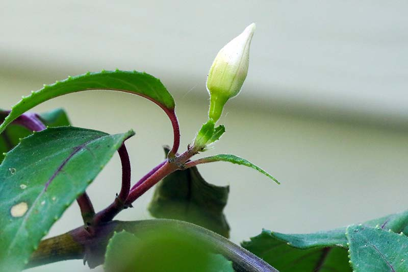 A close up horizontal image of new growth and a flower bud on a potted fuchsia plant.