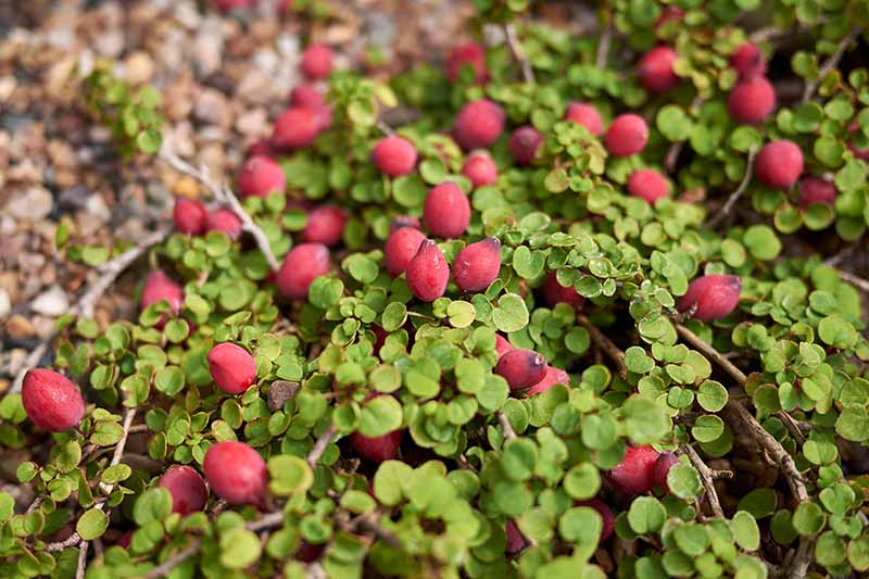 A close up horizontal image of a prostrate fuchsia with ripe red berries growing by the side of a gravel path.