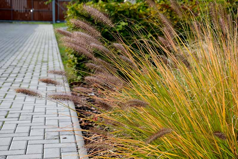 A horizontal image of Pennisetum fountain grass growing by the side of a concrete pathway.