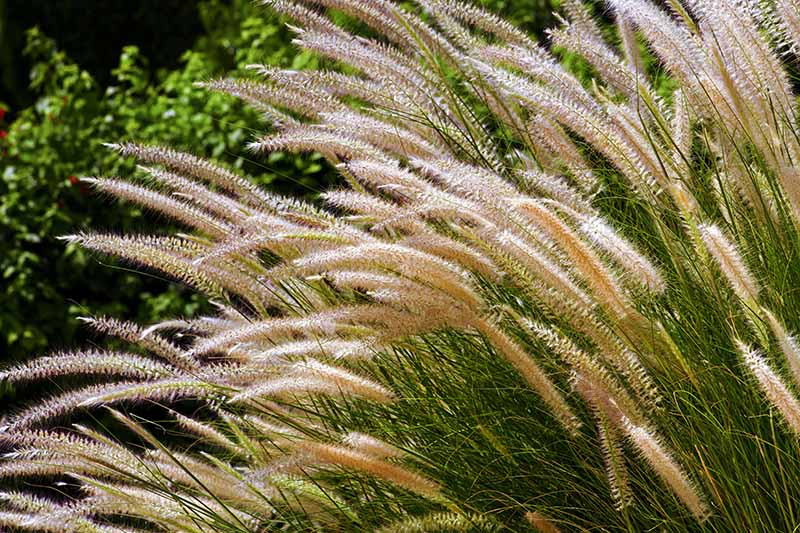 A close up horizontal image of Pennisetum ornamental grass with wispy flower stalks growing in the summer garden.