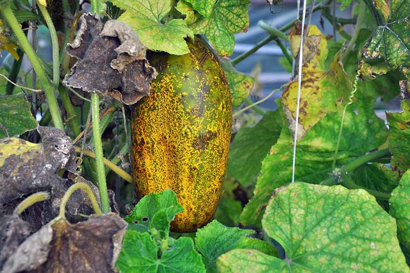 A close up horizontal image of an overripe cucumber growing on a diseased vine.