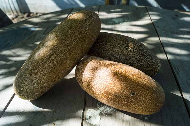 A close up horizontal image of large, brown, overripe cucumbers set on a wooden surface.