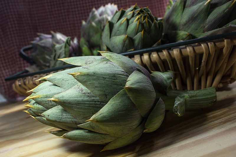 A close up horizontal image of freshly harvested thorned artichokes in a wicker basket set on a wooden surface.