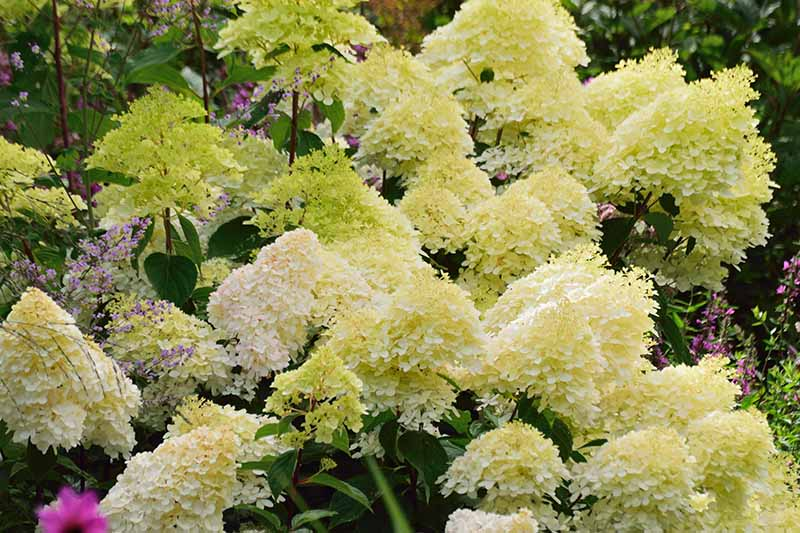 A close up horizontal image of the luscious greenish-white blooms of Hydrangea paniculata 'Grandiflora' growing in a garden border.