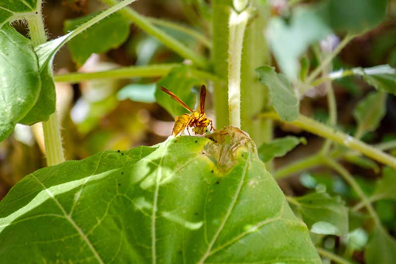 A close up horizontal image of a wasp on Helianthus annus foliage pictured in light filtered sunshine.
