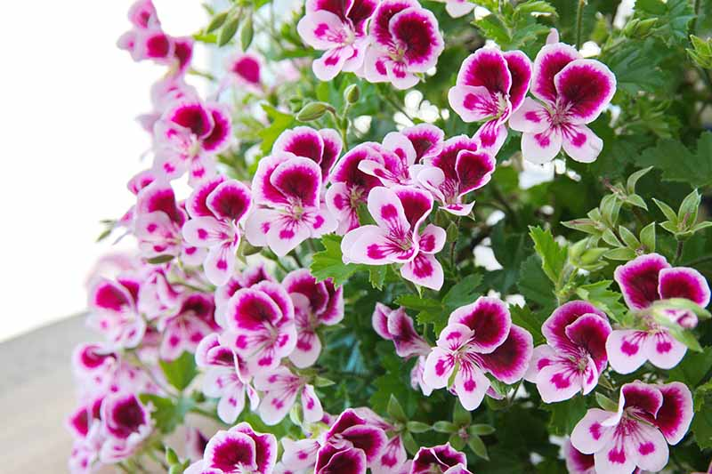 A close up horizontal image of Pelargonium 'Angel's Perfume' flowers growing in the garden.