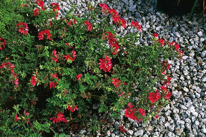 A close up horizontal image of the red flowers of Pelargonium 'Mrs Taylor' growing in a rock garden.