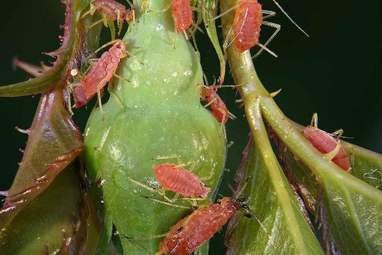 A close up horizontal image of pink rose aphids infesting a flower bud pictured on a soft focus background.