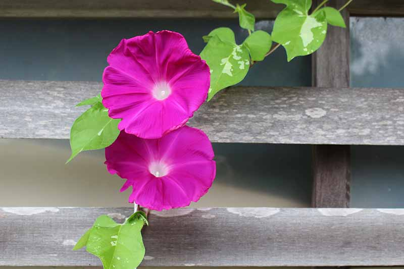 A close up horizontal image of two small pink morning glory flowers growing on a wooden fence.