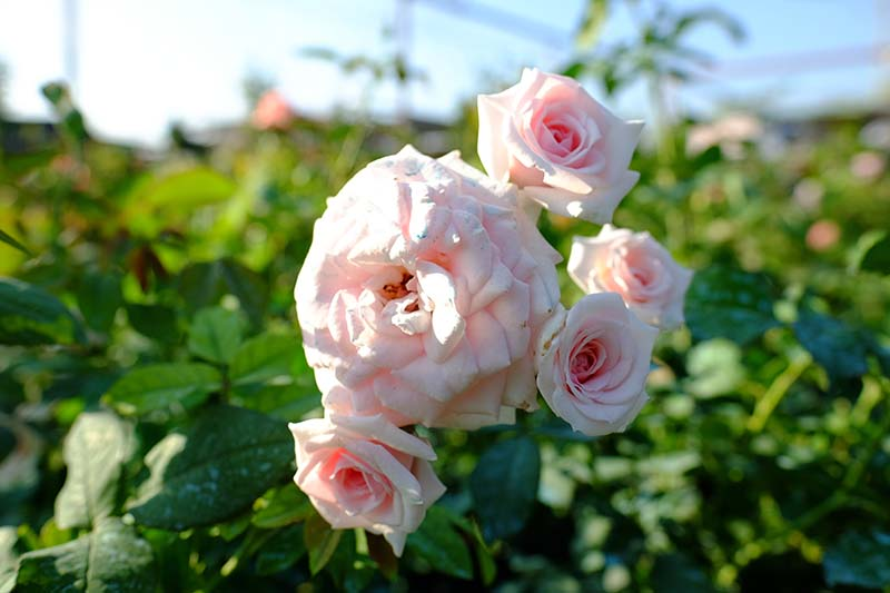 A close up horizontal image of light pink roses growing in the garden pictured in light sunshine on a soft focus background.