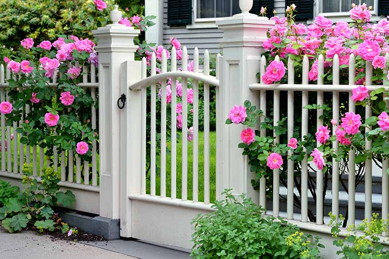 A close up horizontal image of a white fence planted with pink rose shrubs in front of a large residence.
