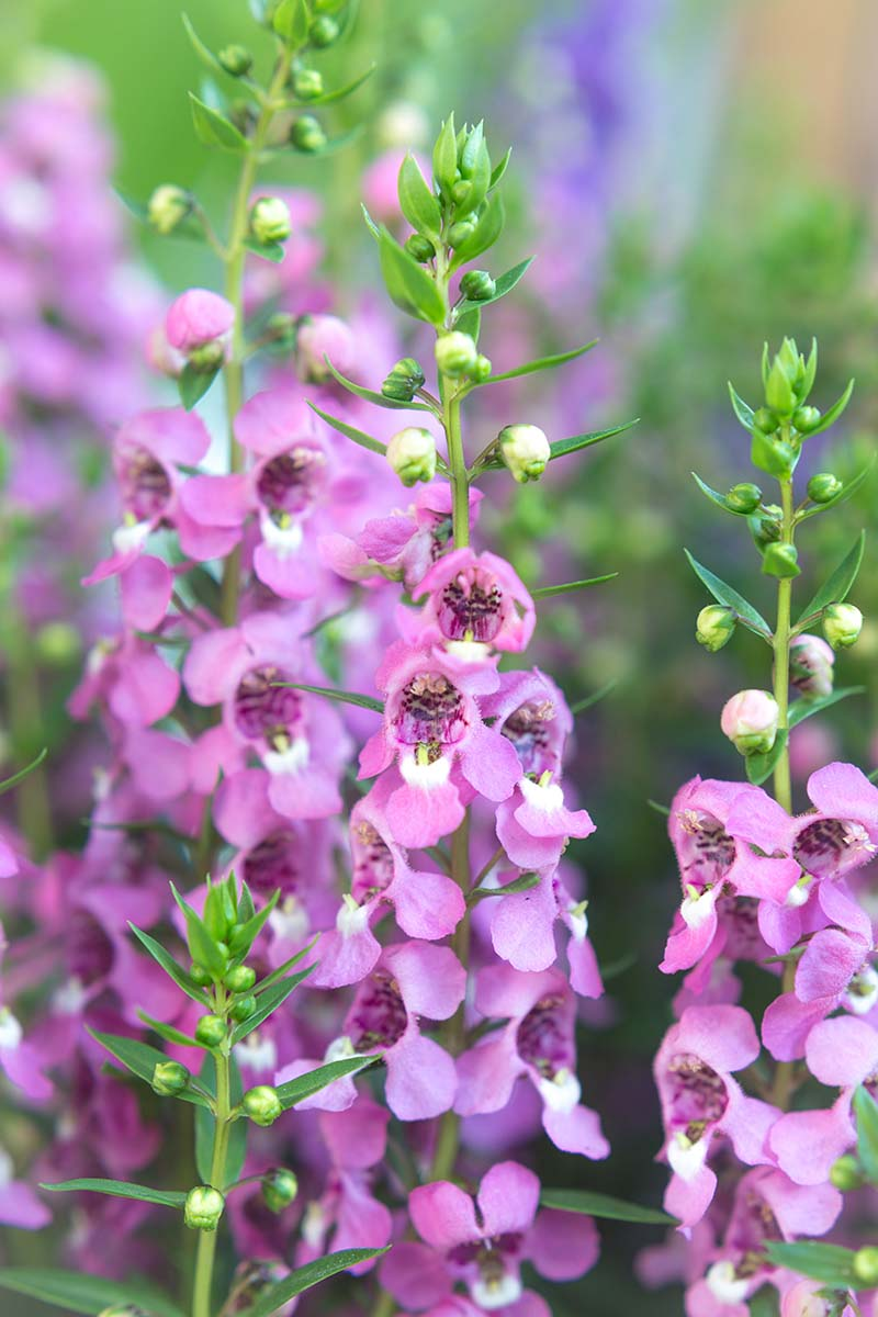 A close up vertical image of pink summer snapdragon (Angelonia angustifolia) flowers pictured on a soft focus background.