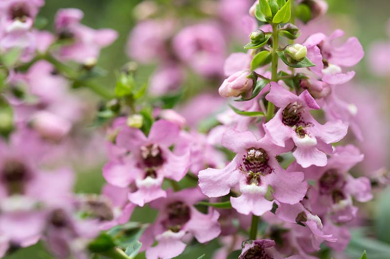 A close up horizontal image of pink Angelonia angustifolia flowers growing in the summer garden pictured on a soft focus background.