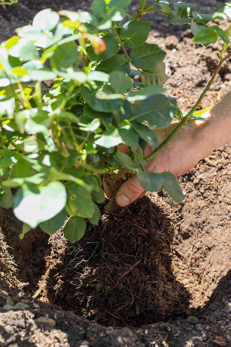 A close up vertical image of a hand from the right of the frame planting a rose shrub into a hole in the garden.