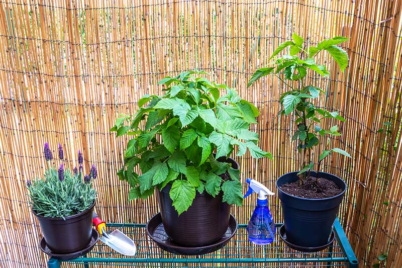 A close up horizontal image of three potted plants on a metal shelf with a bamboo screen in the background.