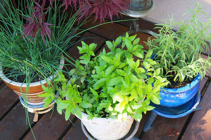 A close up horizontal image of potted herbs set in a shady spot on a wooden deck.