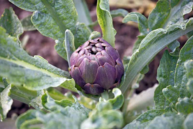 A close up horizontal image of a purple globe artichoke growing in the garden ready to harvest.