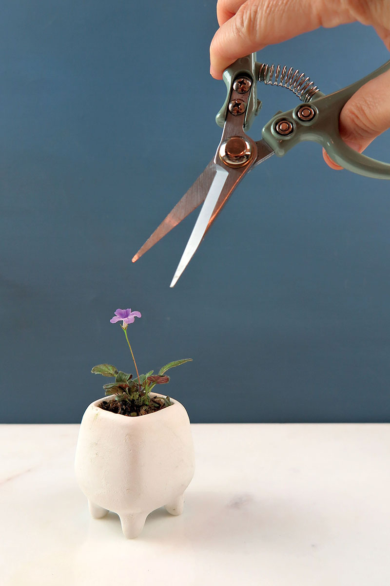 A close up vertical image of a hand from the top of the frame holding a pair of pruners aimed at a small plant with a purple flower.