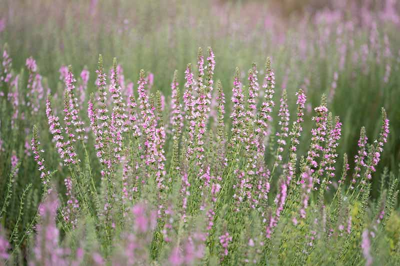 A close up horizontal image of light pink/purple hyssop flowers growing in a wildflower meadow.