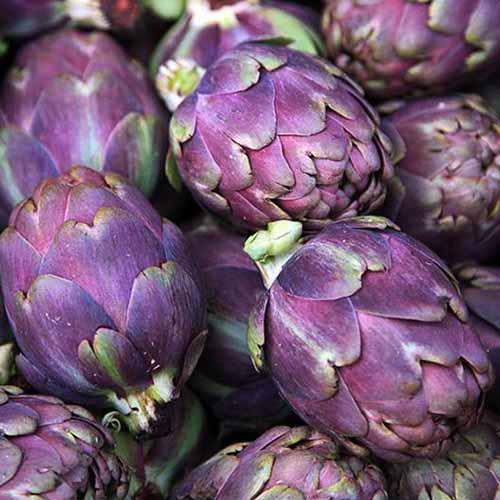 A close up square image of 'Purple Italian Globe' artichokes.