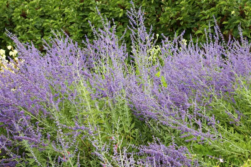 A close up horizontal image of Russian sage (Salvia yangii) growing in a garden border.