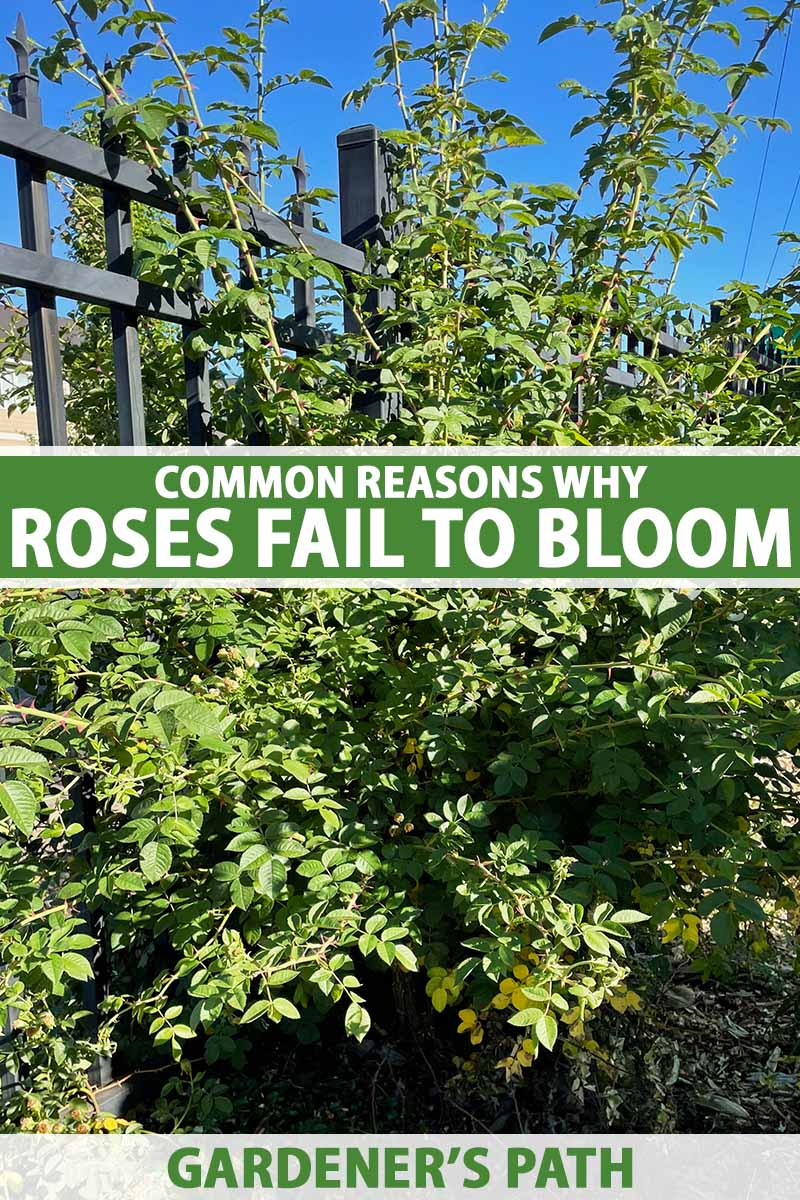 A close up vertical image of a rose bush growing in the garden with a notable absence of blossoms, pictured on a blue sky background. To the center and bottom of the frame is green and white printed text.