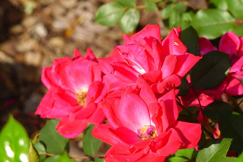 A close up horizontal image of bright red Knock Out roses growing in a sunny garden.